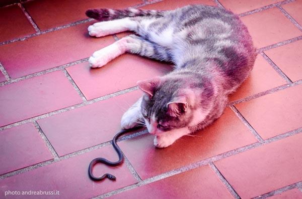 andreabrussi.it - gato figlio cattura serpente