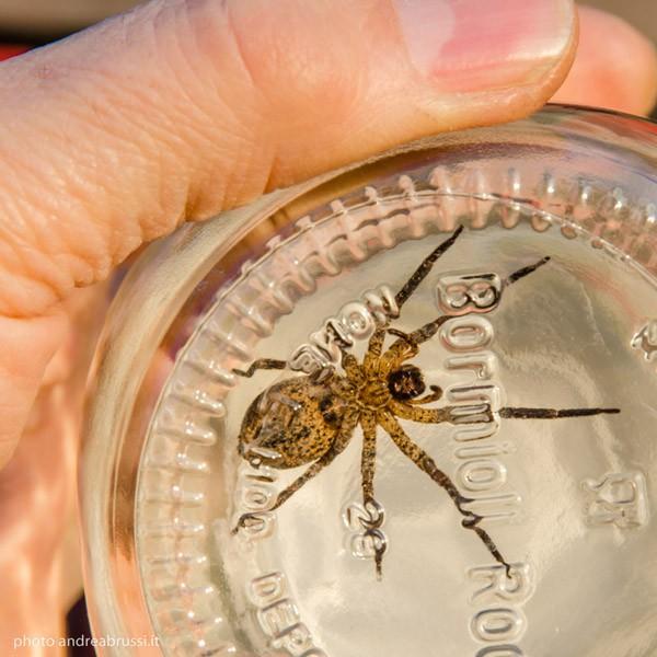 Signor ragno