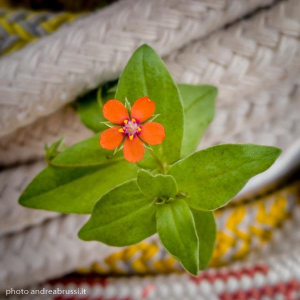 andreabrussi.it - fiorellino micro